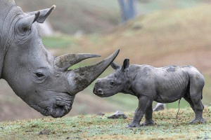 Cute Baby Rhino Video – Cutest Thing You Will See All Day